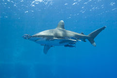 Oceanic white-tip shark in the sea. Large oceanic white-tip shark Carcharhinus longimanus under water in the open ocean stock image