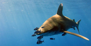 Oceanic White Tip Stock Images