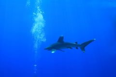 Oceanic whitetip shark Royalty Free Stock Images