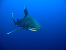 Oceanic Whitetip shark (Carcharhinus longimanus). In the blue Stock Images