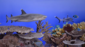The oceanic whitetip shark Carcharhinus longimanus, also known. As Brown Milbert`s sand bar shark, brown shark, nigano shark, oceanic white-tipped whaler, and royalty free stock photography