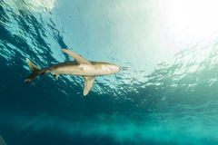 Oceanic whitetip shark (carcharhinus longimanus) at Elphinestone Red Sea. Stock Photography