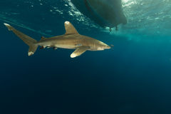 Oceanic whitetip shark (carcharhinus longimanus) at Elphinestone Red Sea. Stock Images