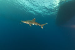 Oceanic whitetip shark (carcharhinus longimanus) at Elphinestone Red Sea. Royalty Free Stock Photo