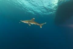 Oceanic whitetip shark (carcharhinus longimanus) at Elphinestone Red Sea. Royalty Free Stock Photo