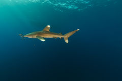 Oceanic whitetip shark (carcharhinus longimanus) at Elphinestone Red Sea. Royalty Free Stock Image