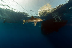 Oceanic whitetip shark (carcharhinus longimanus) at Elphinestone Red Sea. Royalty Free Stock Photos