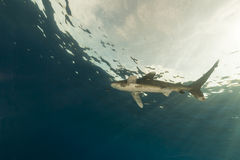 Oceanic whitetip shark (carcharhinus longimanus) at Elphinestone Red Sea. Stock Photo