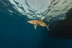 Oceanic whitetip shark (carcharhinus longimanus) at Elphinestone Red Sea. Stock Image