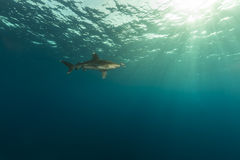 Oceanic whitetip shark (carcharhinus longimanus) and photographer at Elphinestone Red Sea. Stock Photos