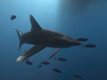Oceanic whitetip shark royalty free stock images