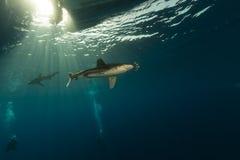 Oceanic whitetiphaj (carcharhinuslongimanus) och dykare på Elphinestone det röda havet. Arkivfoton