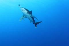 Oceanic Witte haai van het Uiteinde (longimanus Carcharinus) Stock Afbeeldingen