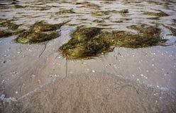 Oceanica de Posidonia Imágenes de archivo libres de regalías