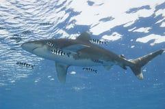 Oceanico bianco-capovolga lo squalo nel mare Fotografie Stock Libere da Diritti