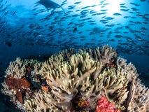 Oceaniczne manty Ray, Raja Ampat, Indonezja zdjęcie stock