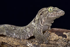 Oceanisk gecko (den Gehyra oceanicaen) arkivbilder