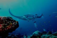 Oceano Índico subaquático de Maldivas da foto do mergulho de Ray de Manta fotografia de stock royalty free