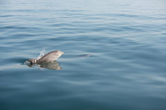 Oceano de salto do mar da vitela do golfinho do bebê que emerge Fotos de Stock Royalty Free