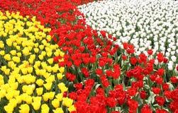 Oceano dei tulipani Immagine Stock