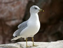 Oceano del puntello degli uccelli del gabbiano di mare Fotografie Stock Libere da Diritti