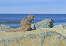 Oceano delle rocce dello scoiattolo immagine stock libera da diritti
