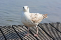 Oceano do mar do pássaro da gaivota fotos de stock