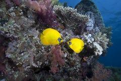 Oceano e butterflyfish imagem de stock