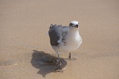 Oceano Gaivota na borda da praia Imagem de Stock Royalty Free