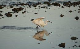 Oceano Garça-real na borda da praia Foto de Stock Royalty Free