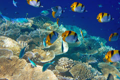 Oceano Indiano. Mondo subacqueo. immagini stock libere da diritti