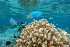 Oceano Pacífico tropical subaquático do coral da escova dos peixes Fotografia de Stock Royalty Free