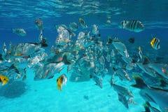 Oceano Pacifico subacqueo del banco tropicale del pesce Fotografia Stock