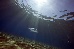 Oceano, sole e gigante trevally Fotografie Stock