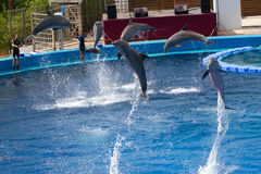 Oceanographic Dolphins' Show Stock Photo