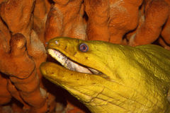 Oceanos Marine Sea Water da serpente dos peixes da enguia Imagens de Stock