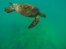 Oceans Beauty. Sea Turtle, Waikiki Beach, Oahu Hawaii Royalty Free Stock Photography