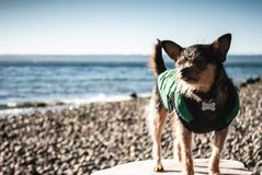 Oceanside Chorkie stock photography