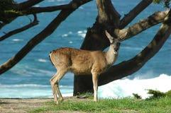 Oceanside Deer. Deer on a hillside near the ocean royalty free stock photography