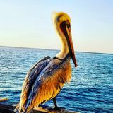 OCEANSIDE PELICAN royalty free stock photography