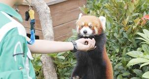 Oceanu park, Hong Kong, 09 2017 Grudzień: - Czerwona panda daje ręce Zdjęcie Royalty Free