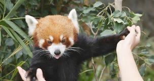 Oceanu park, Hong Kong, 09 2017 Grudzień: - Czerwona panda daje ręce t Zdjęcia Stock