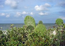 Oceanview Cacti Royalty Free Stock Photo