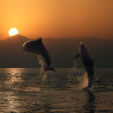 Oceanview two beautiful dolphins leaping from sea. Orange sunset at the sea and two beautiful playful dolphins jumping up from water royalty free stock photography