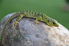 ocelado lepida lagarto lacerta Στοκ Φωτογραφία