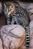 Oceleot su una roccia Fotografia Stock