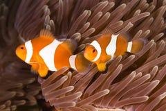 ocellaris κλόουν amphiprion anemonefish Στοκ Φωτογραφίες