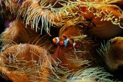 Ocellaris и актинии Amphiprion рыб клоуна как предпосылка, также известная как Ocellaris Clownfish, ложное Percula Clownfish Стоковое Изображение
