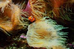 Ocellaris и актинии Amphiprion рыб клоуна как предпосылка, также известная как Ocellaris Clownfish, ложное Percula Clownfish Стоковое Фото