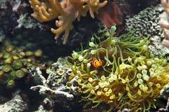 Ocellaris и актинии Amphiprion рыб клоуна как предпосылка, также известная как Ocellaris Clownfish, ложное Percula Clownfish o Стоковое Изображение